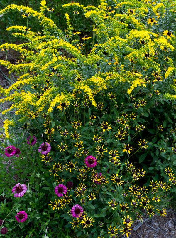 'Solar Cascade' goldenrod