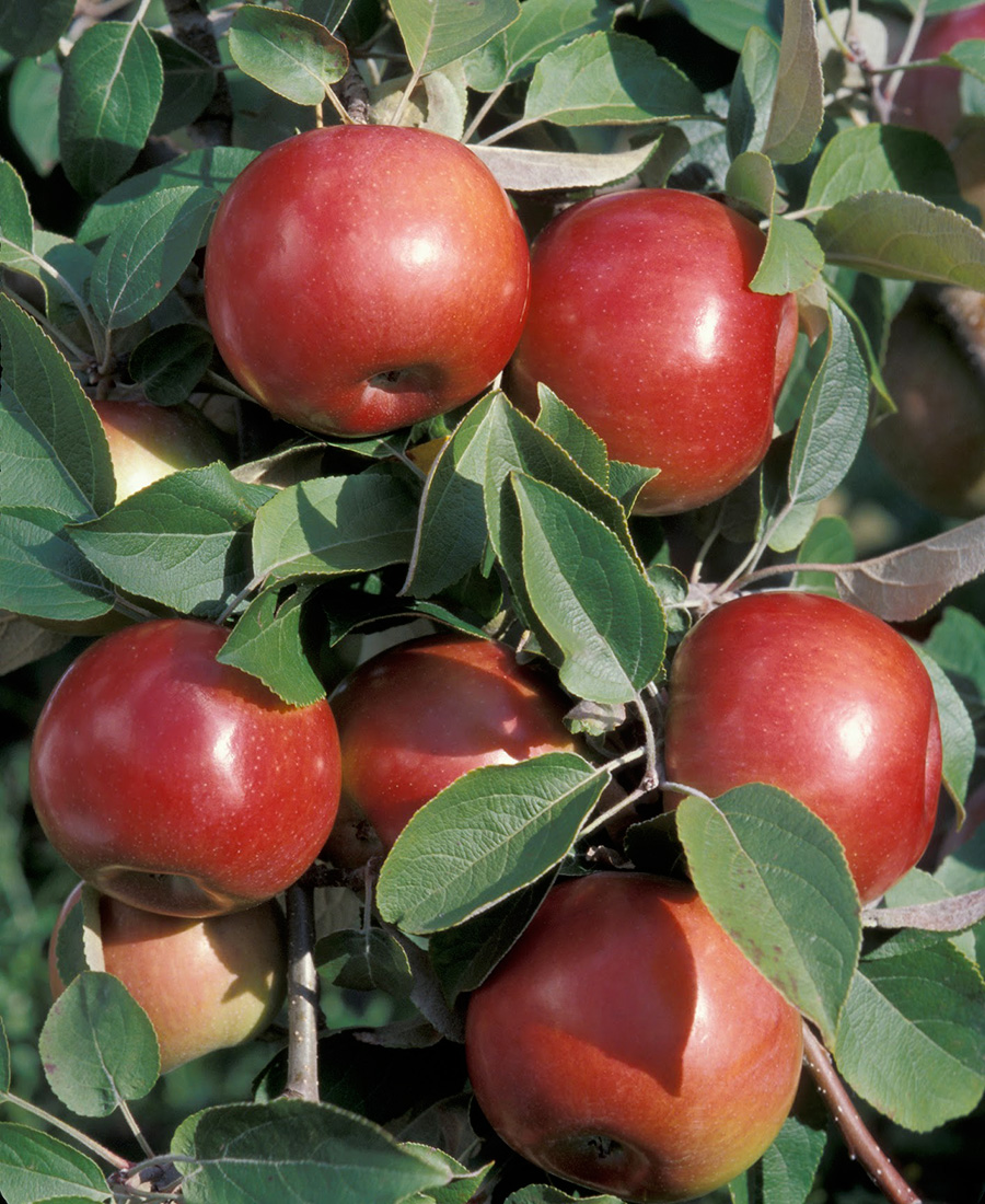 SnowSweet apples