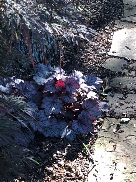 dark-leaved heuchera hybrid