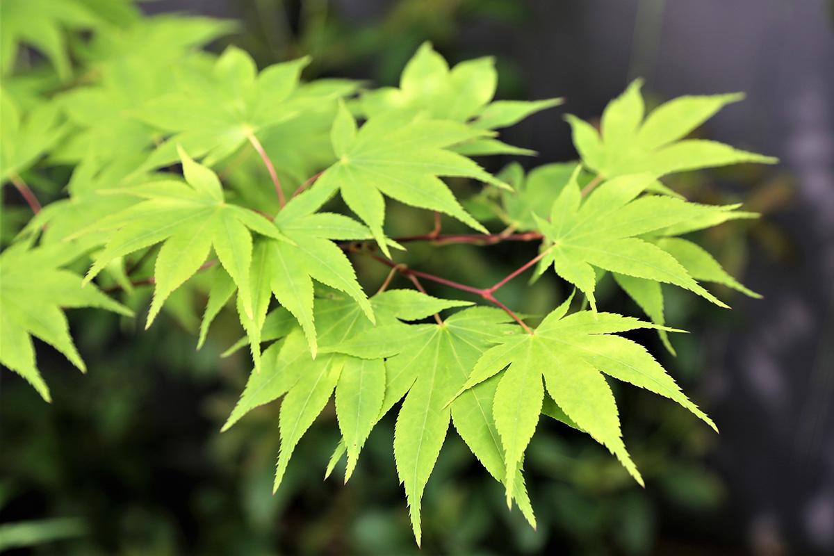 'Osakazuki' Japanese maple