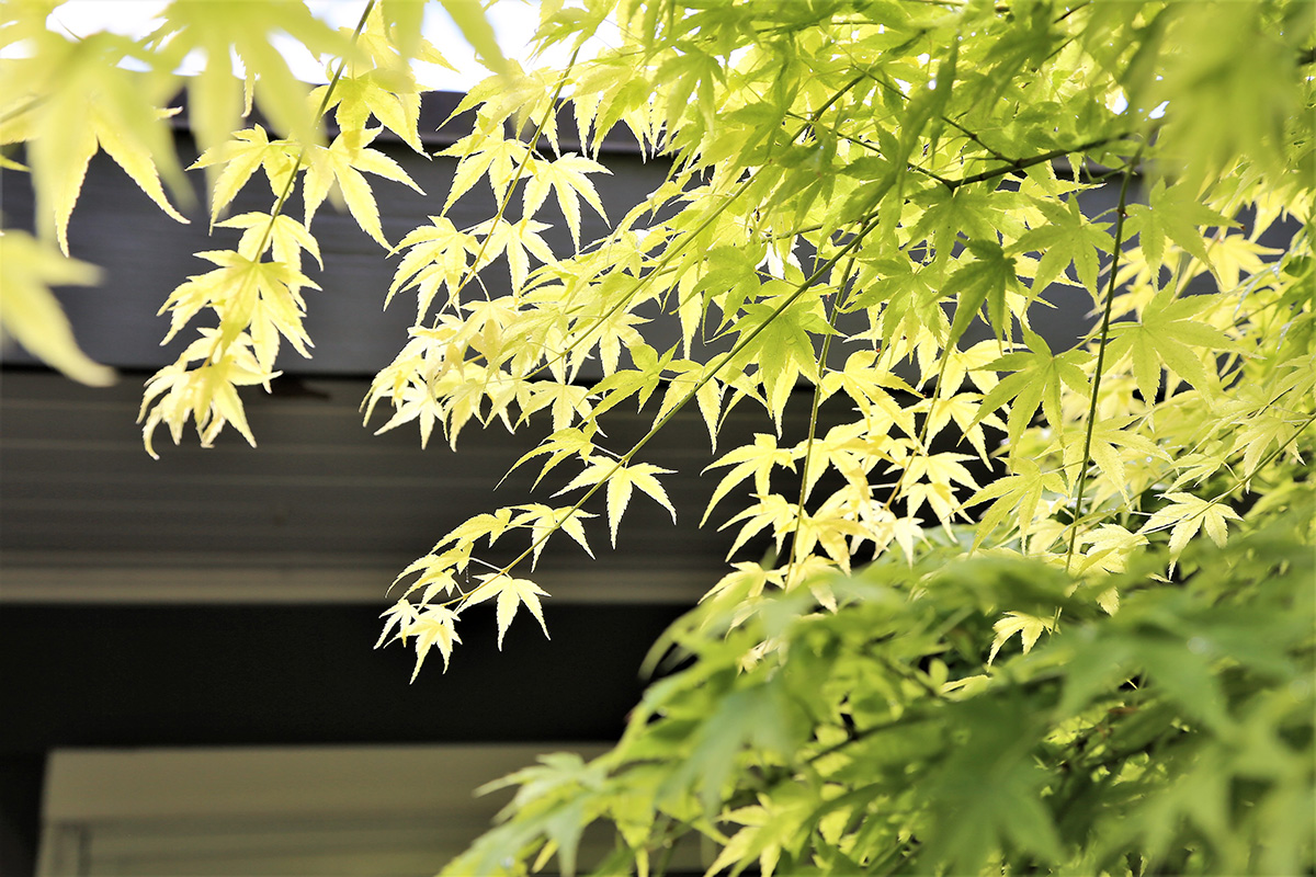 'Shivada Gold' Japanese maple