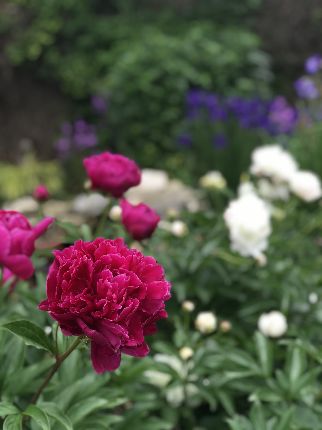 Old-fashioned peonies