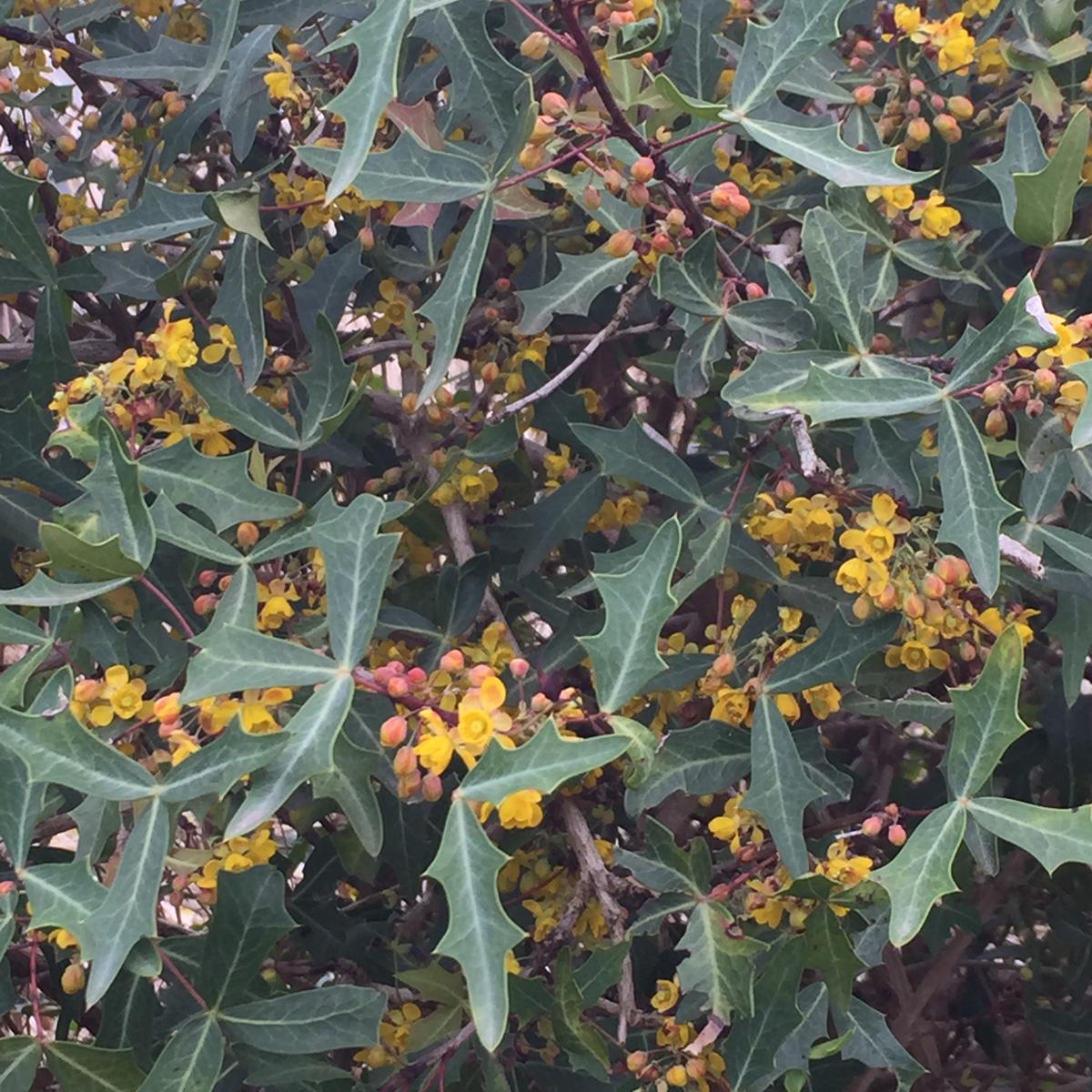 Mustard yellow berries of agarita