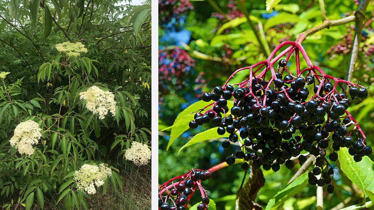 elderberry shrubs and berries