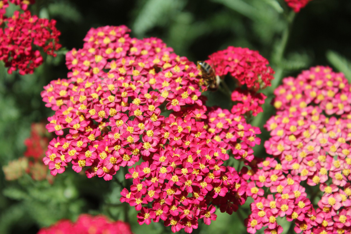 yarrow is perfect for dry soils