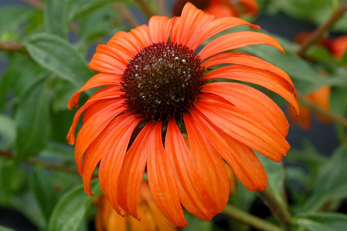 'Tangerine Dream' Echinacea