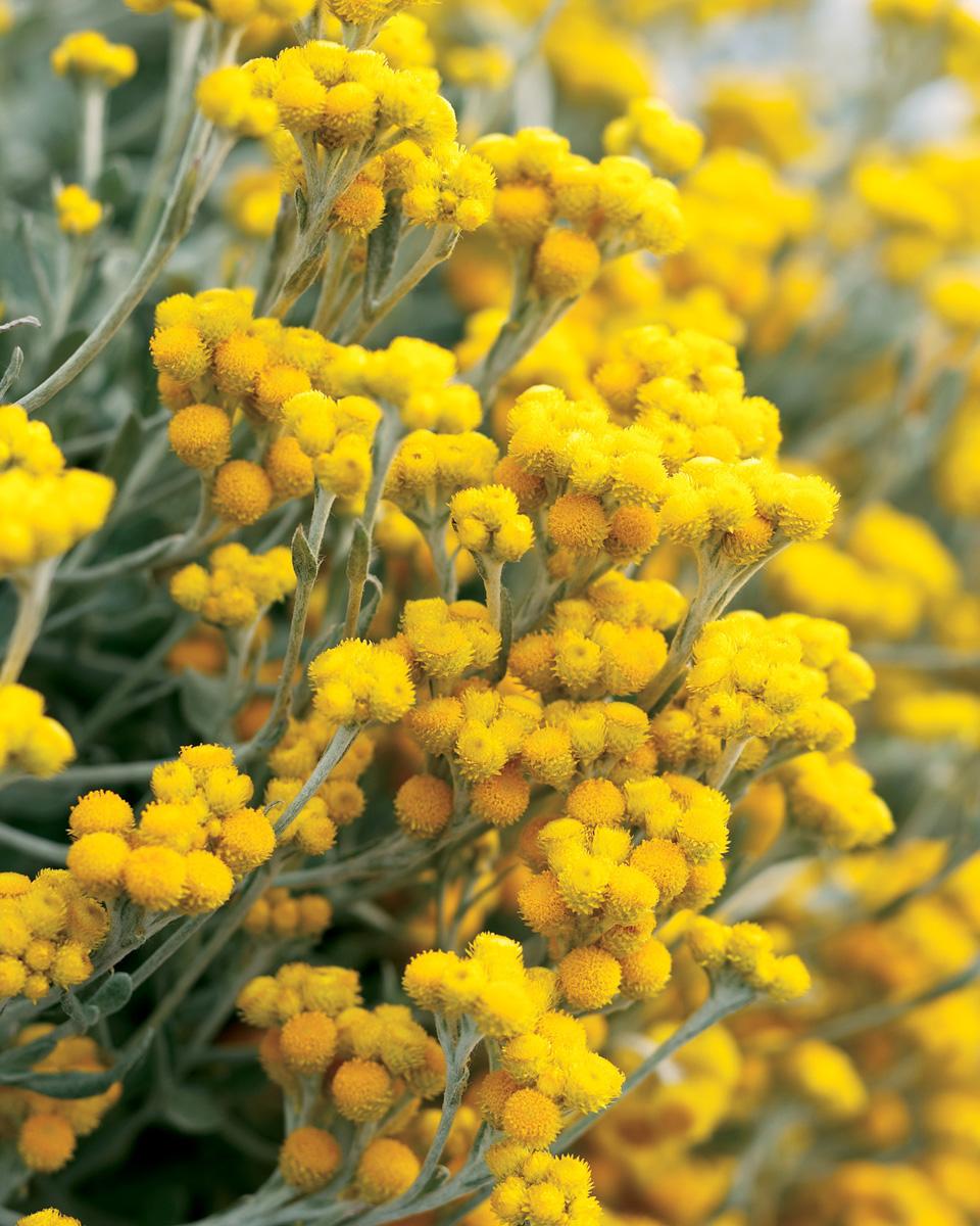 'Flambe® Yellow' strawflower