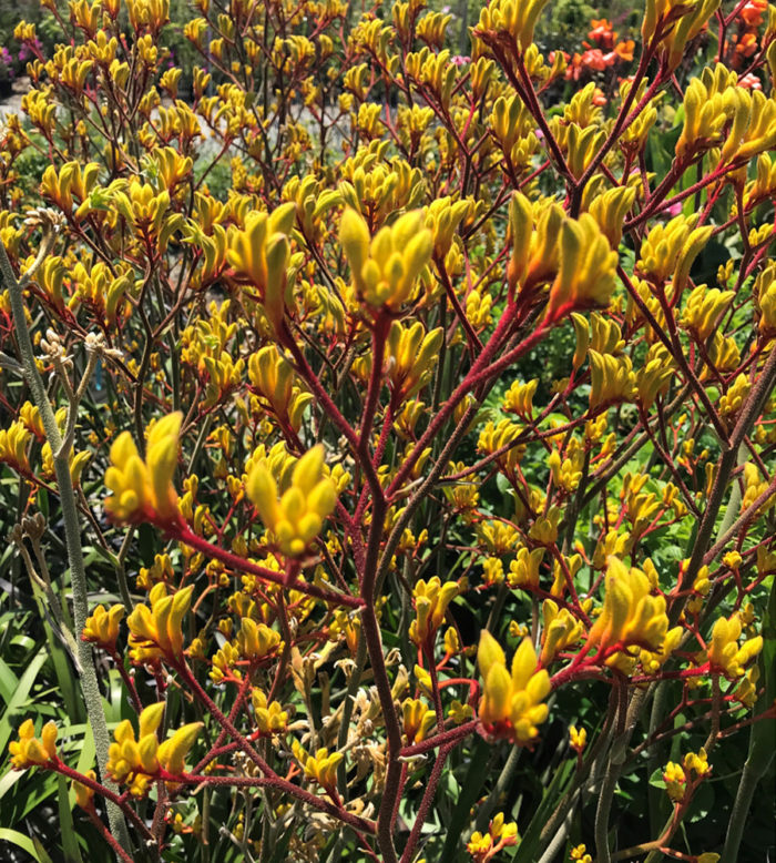Brighten Up Your NorCal Border With Australian Shrubs and Perennials