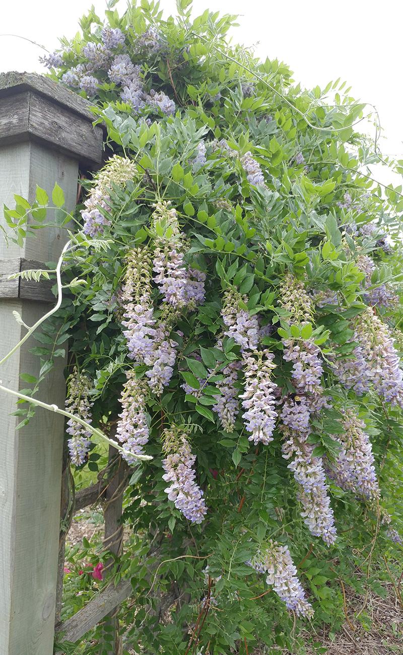 Summer Cascade wisteria