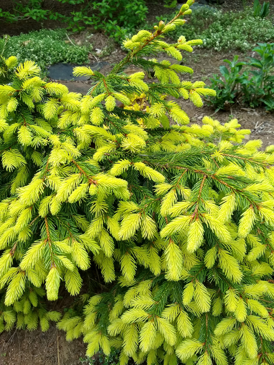 Perry's Gold Norway spruce