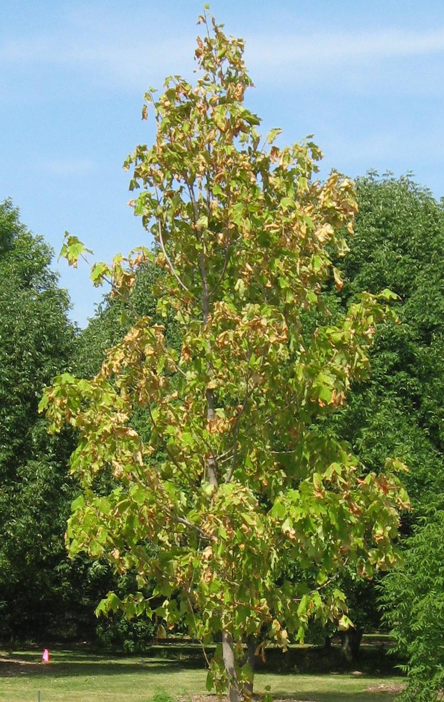 water stress on tree