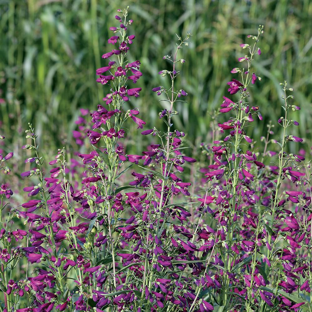 'Twizzle Purple' penstemon