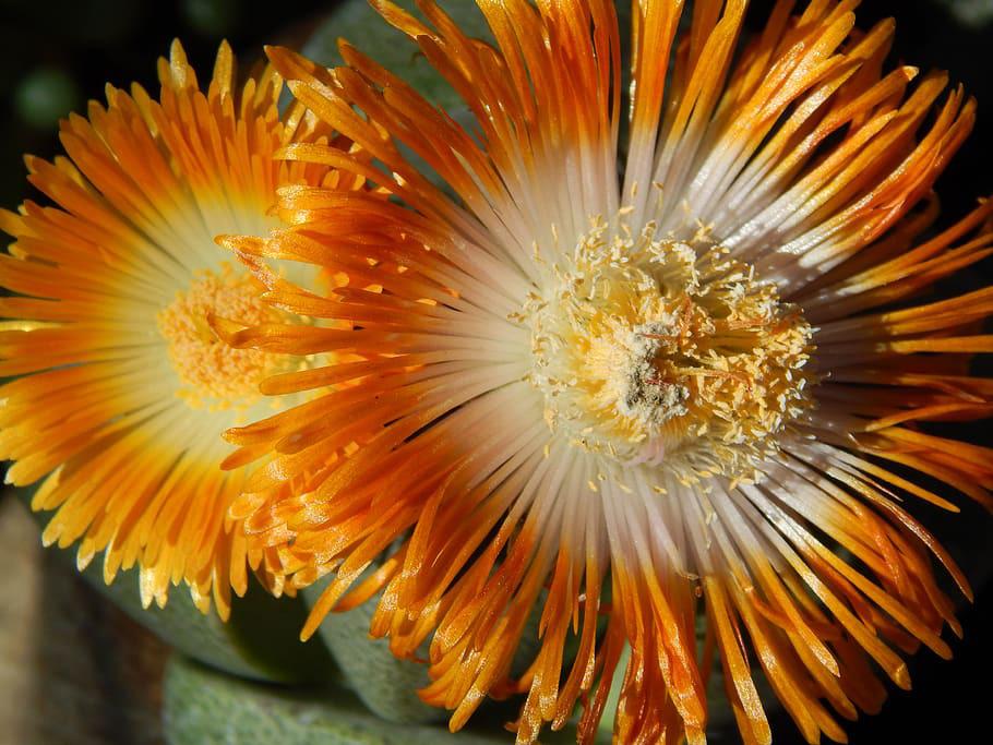 lithop flowers