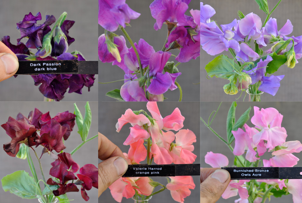 Spencer varieties of sweet peas