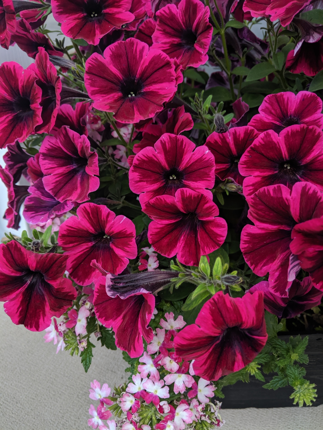 patterned petunia