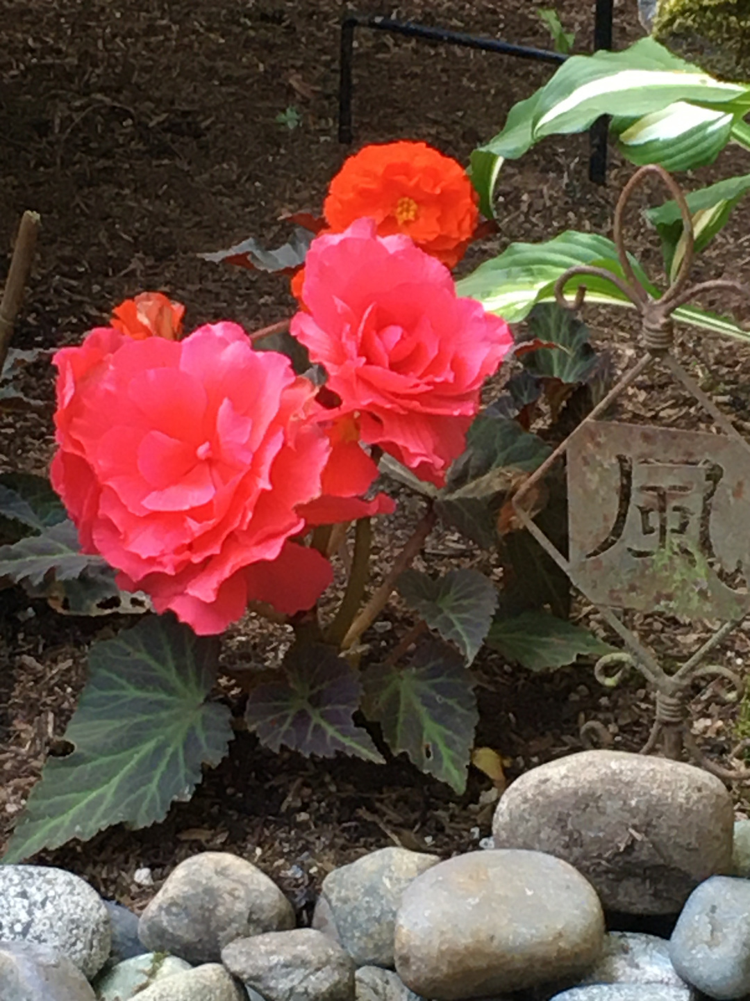 flowers of the tuberous begonia