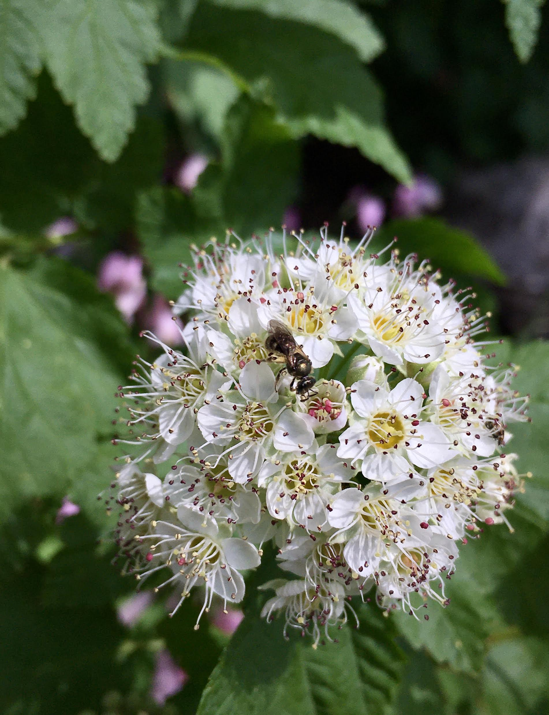 metallic sweat bee