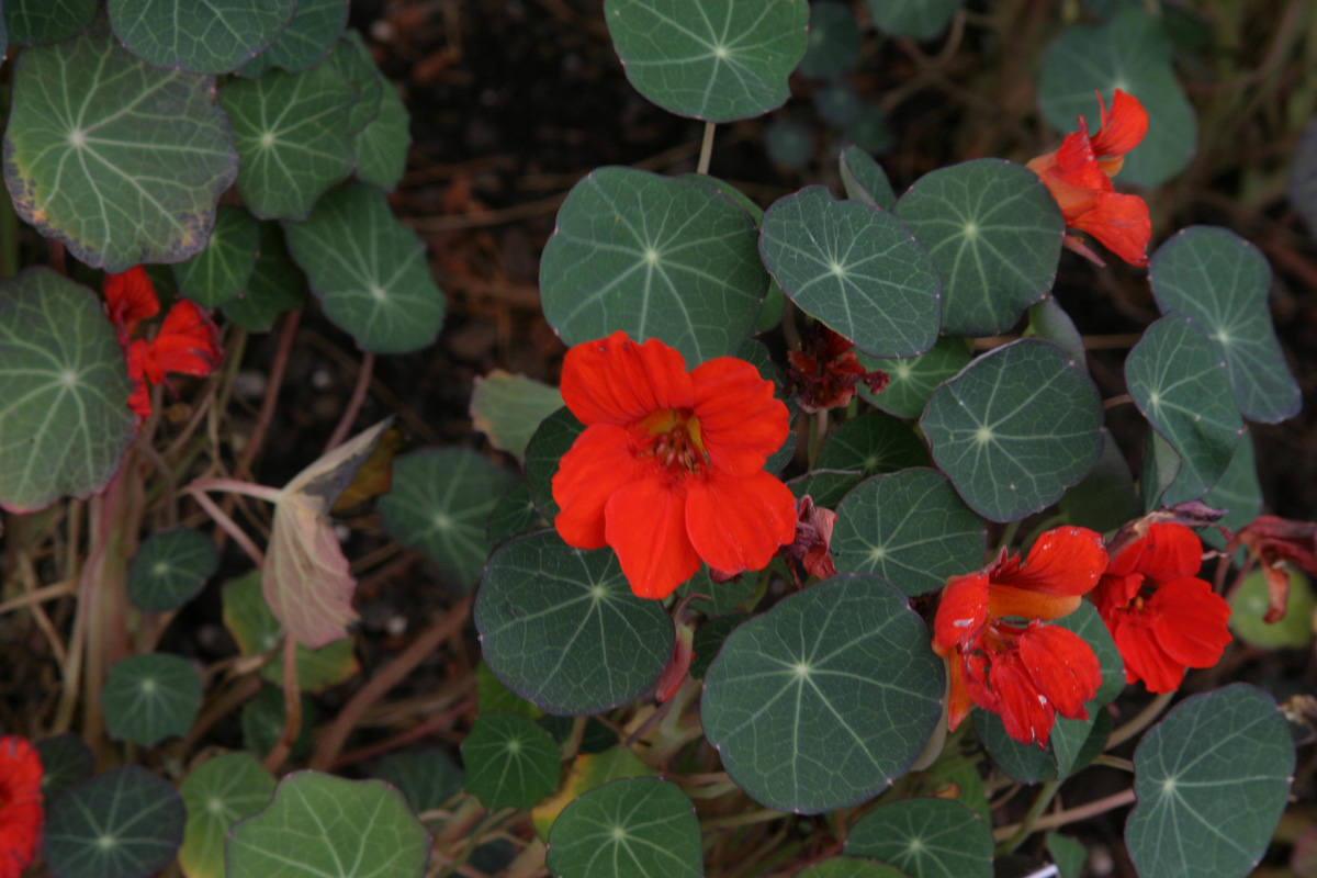 'Empress of India' nasturtium