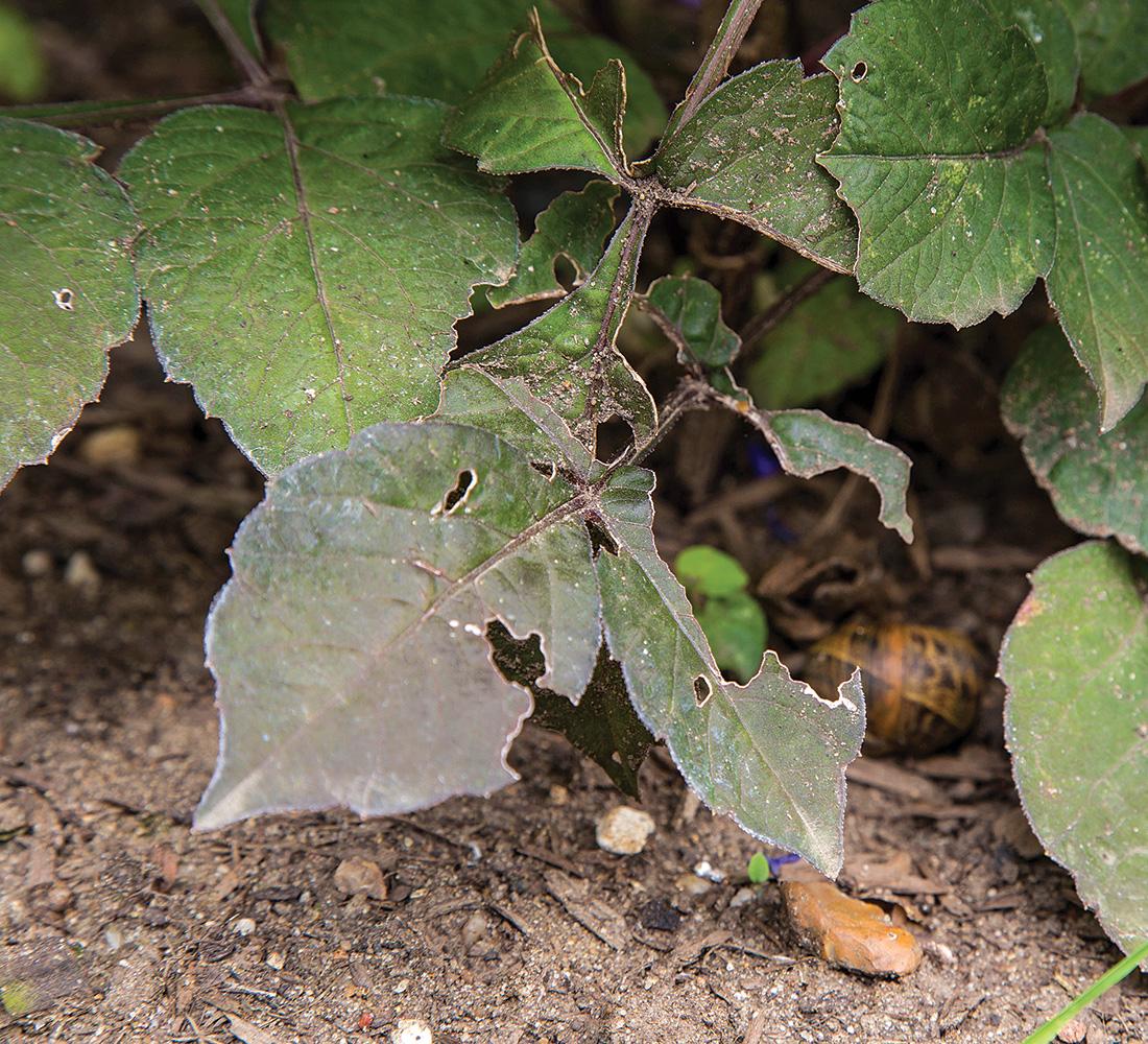 slug damage on dahlias