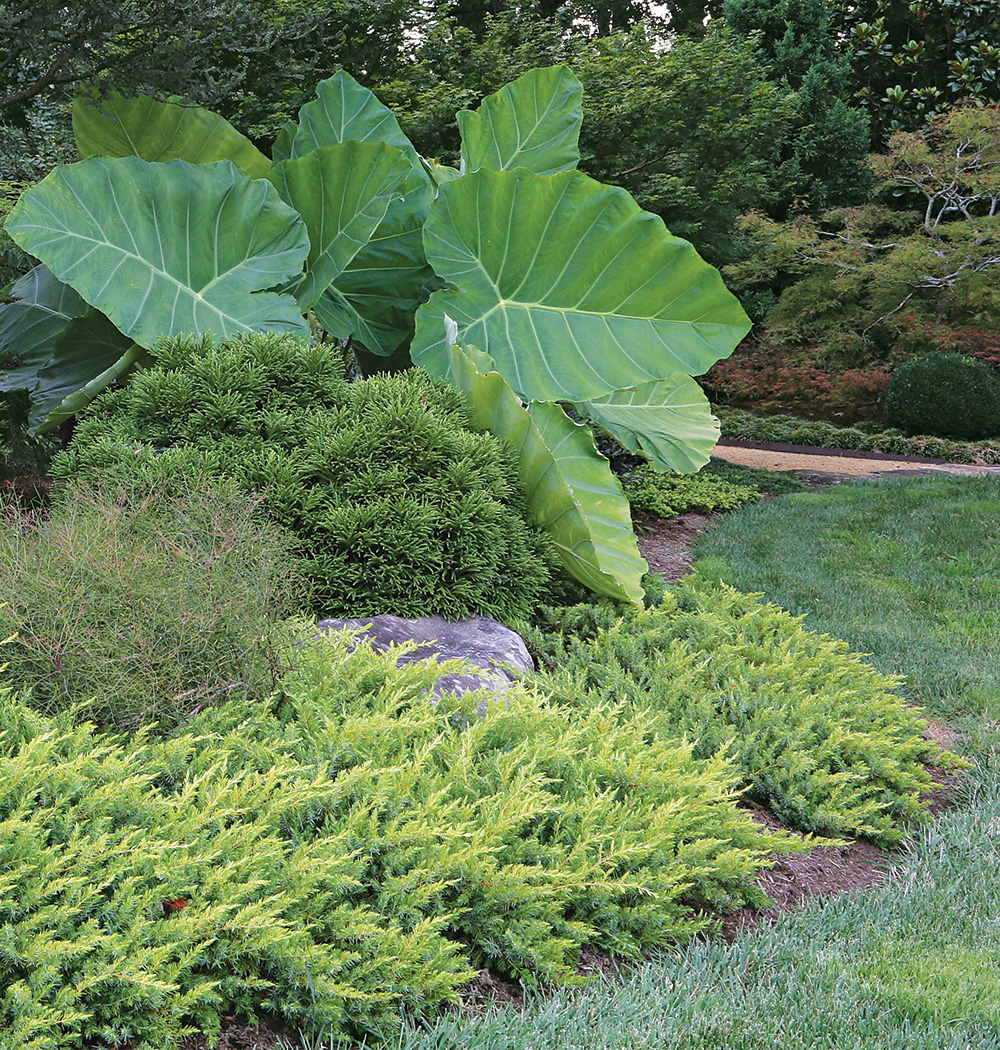 'Thailand Giant' elephant's ear