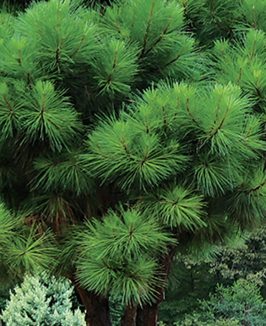 Dwarf loblolly pine
