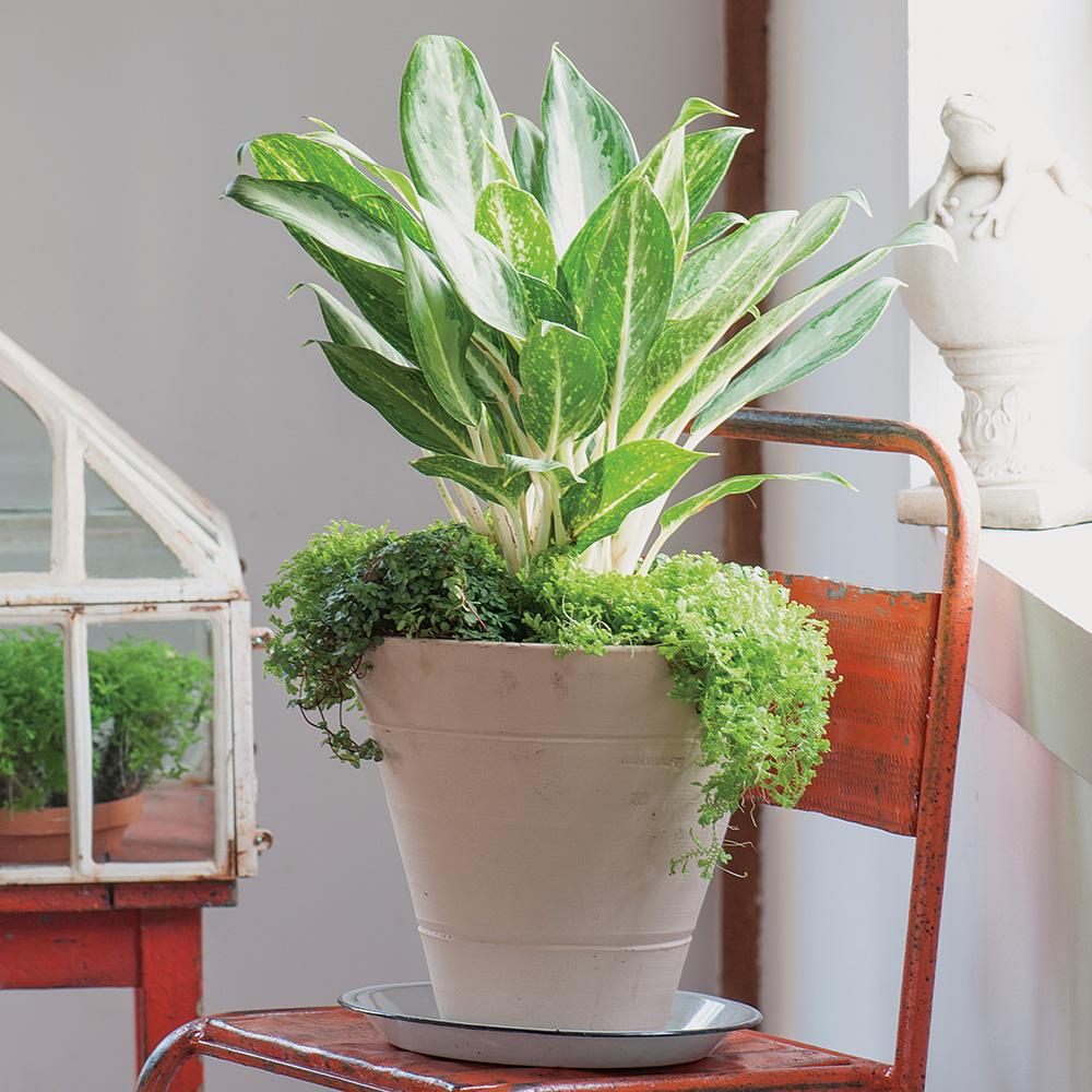 'Siam Aurora' Chinese evergreen