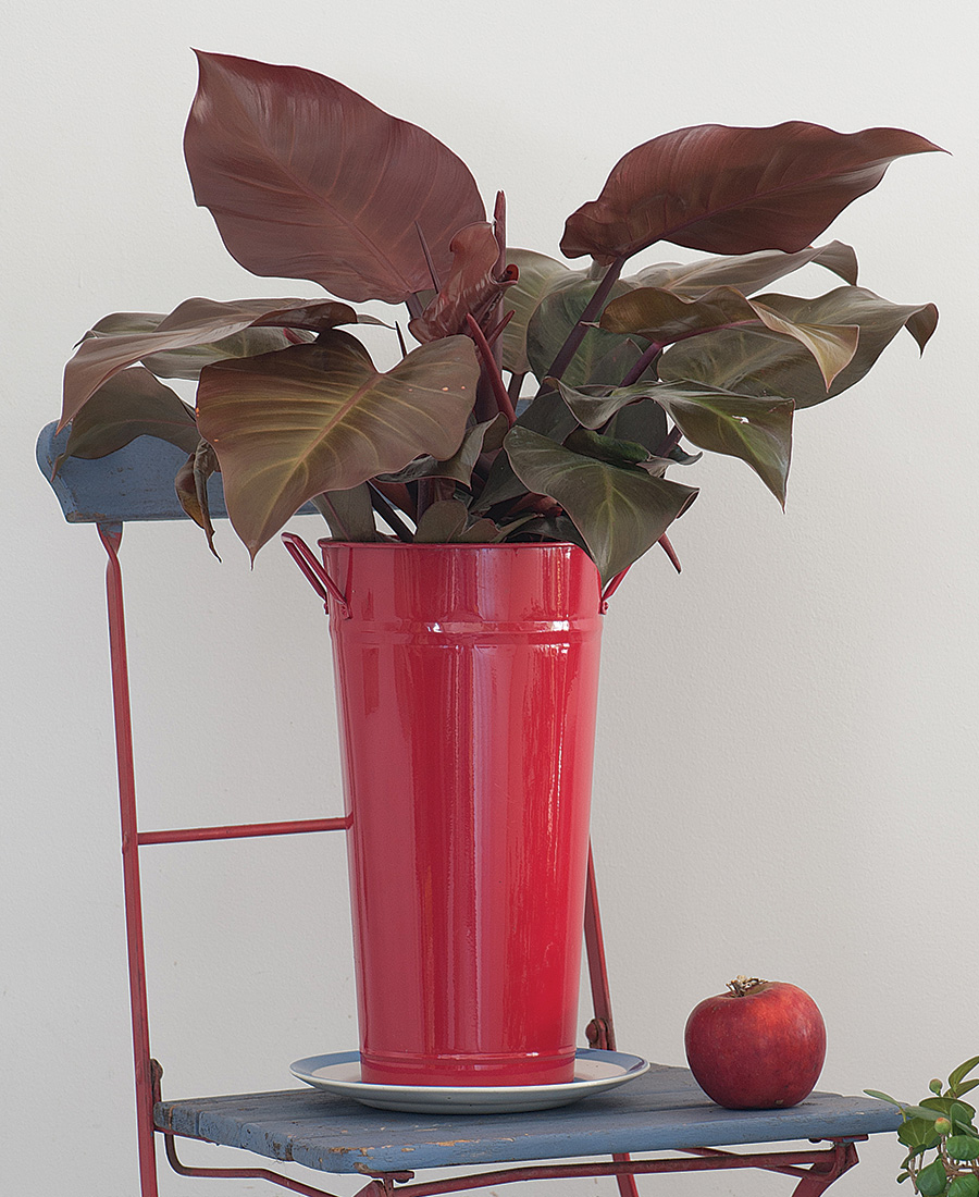 'McColley's Finale' Philodendron
