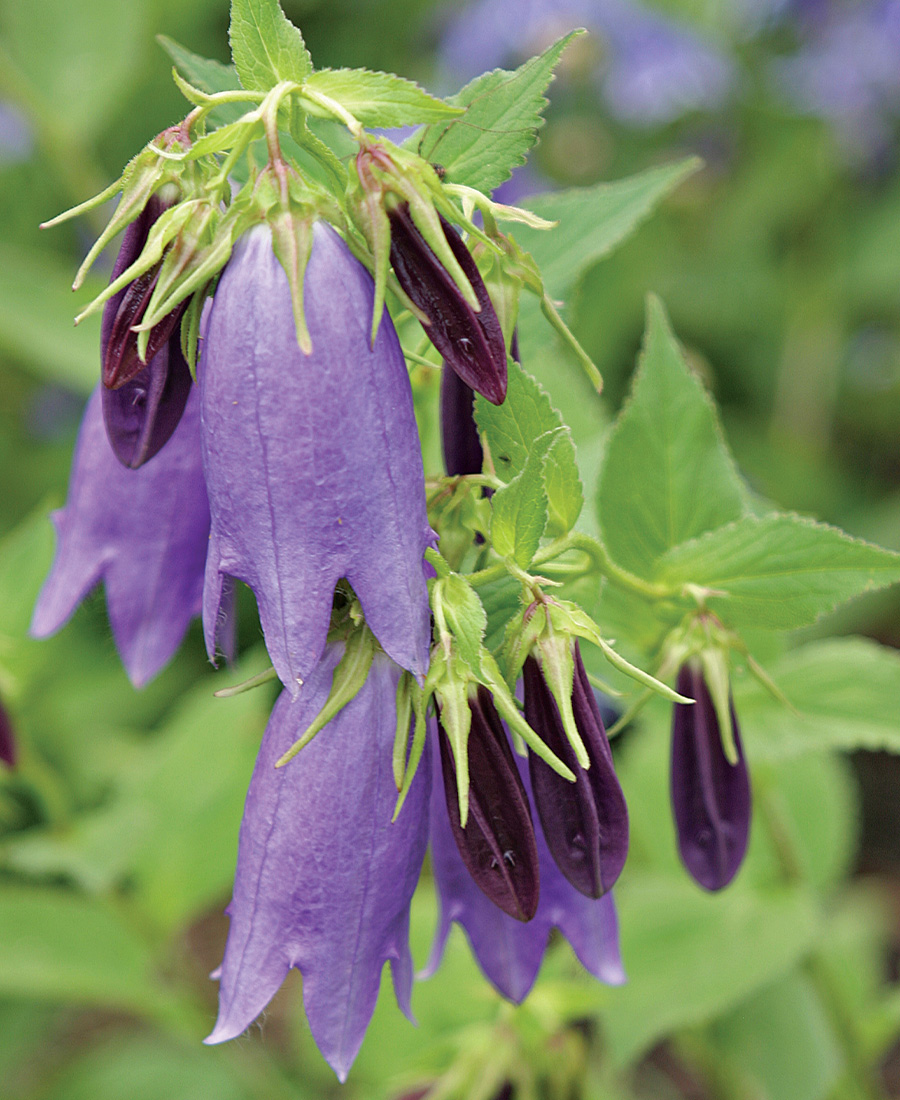 'Sarastro' Bellflower