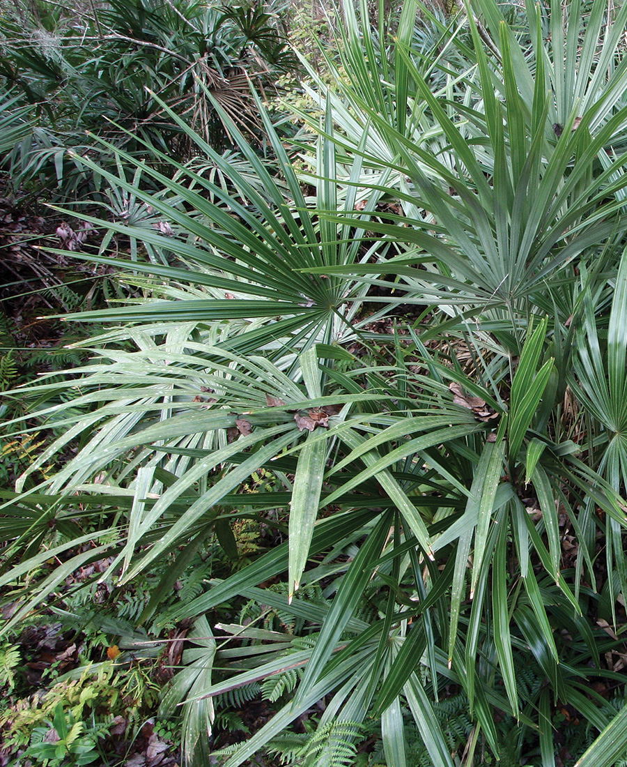 Needle Palm