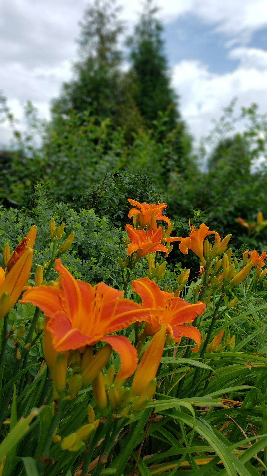 Lady Lucille daylilies