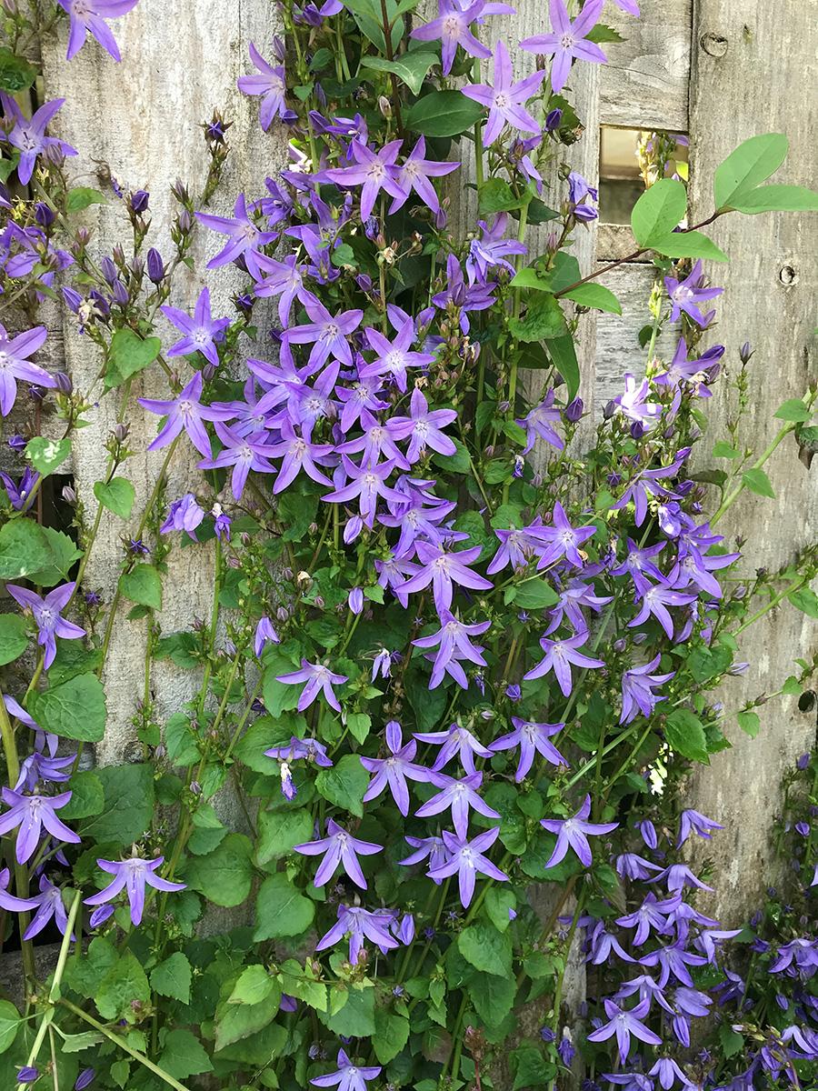 Blue Waterfall Serbian bellflower