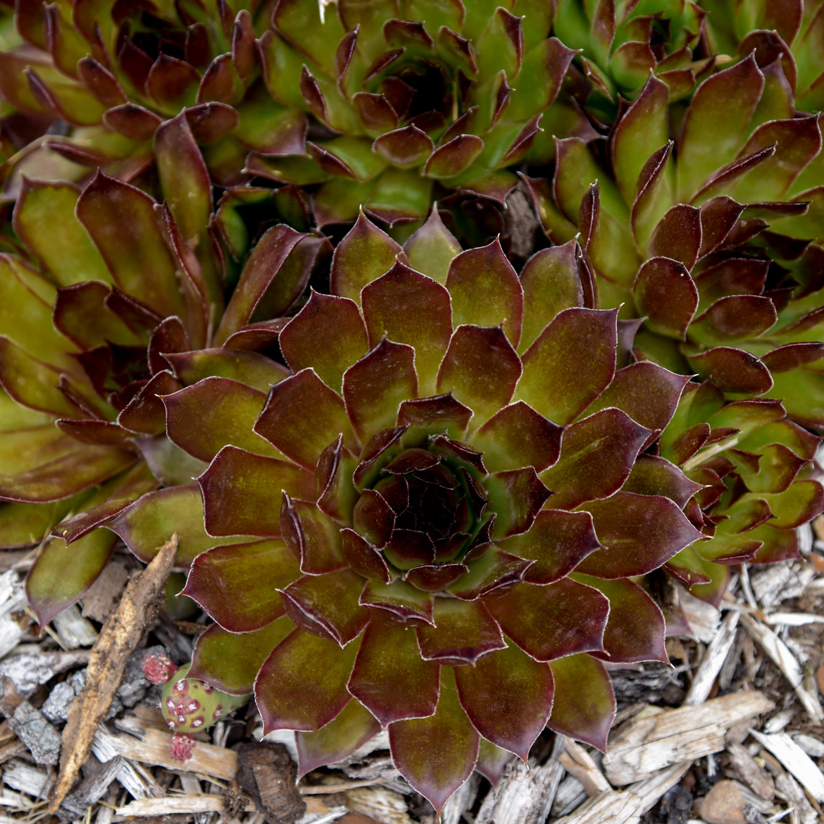 'Black' hens and chicks (Sempervivum 'Black', Zones 4-9)