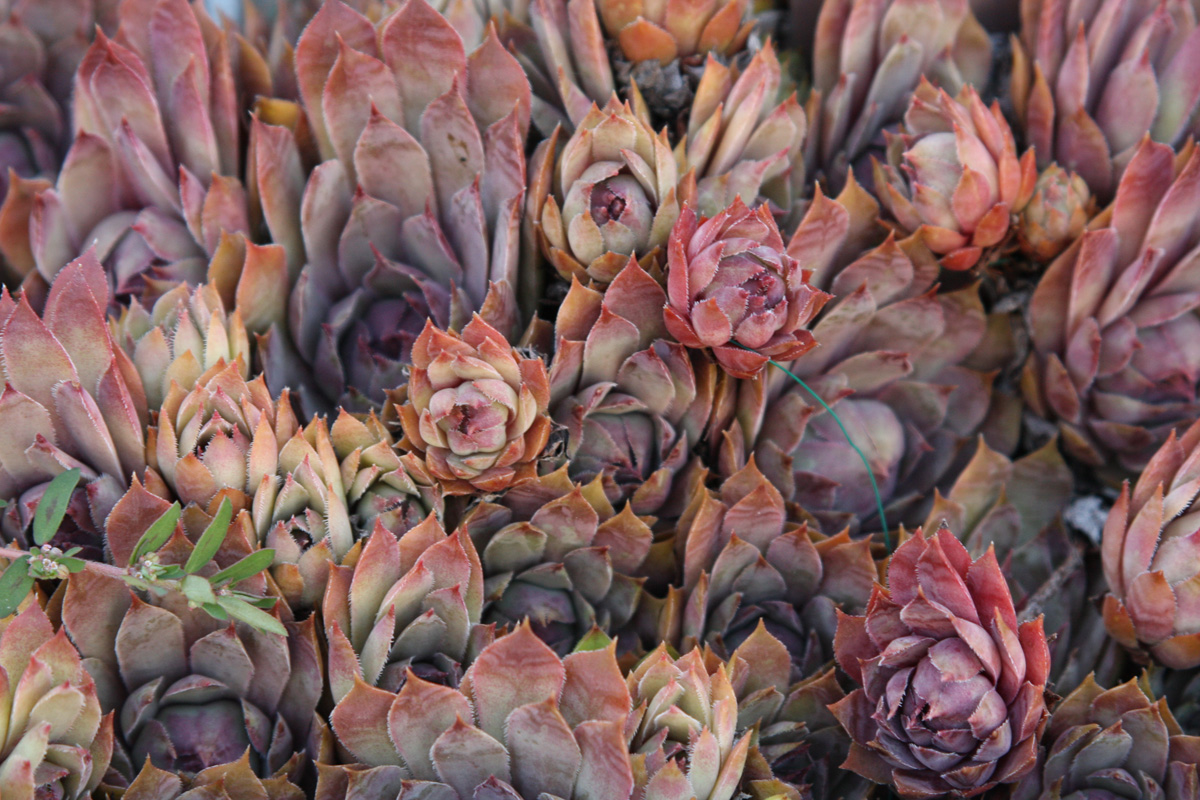 'Royal Ruby' hens and chicks (Sempervivum 'Royal Ruby', Zones 4-9)