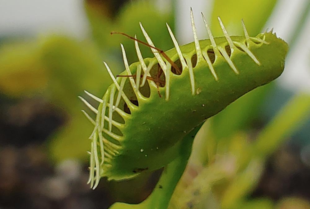 venus flytrap caught insect