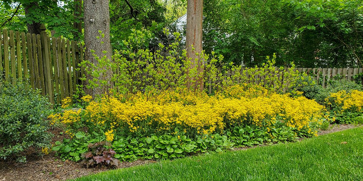 rain garden with golden ragwort