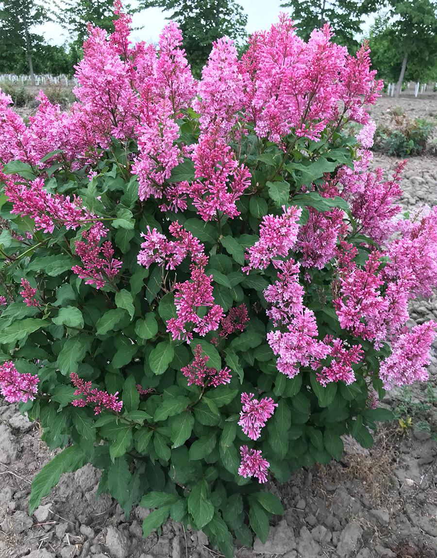 Pinktini Preston lilac