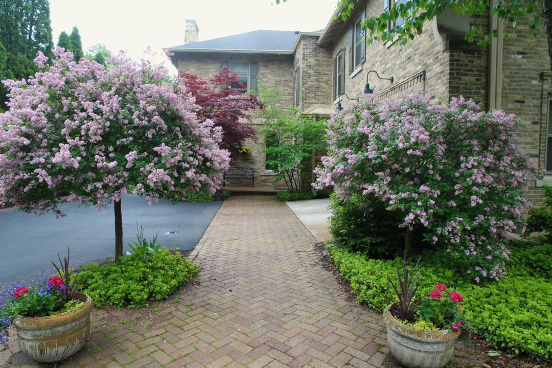 lilac shrubs