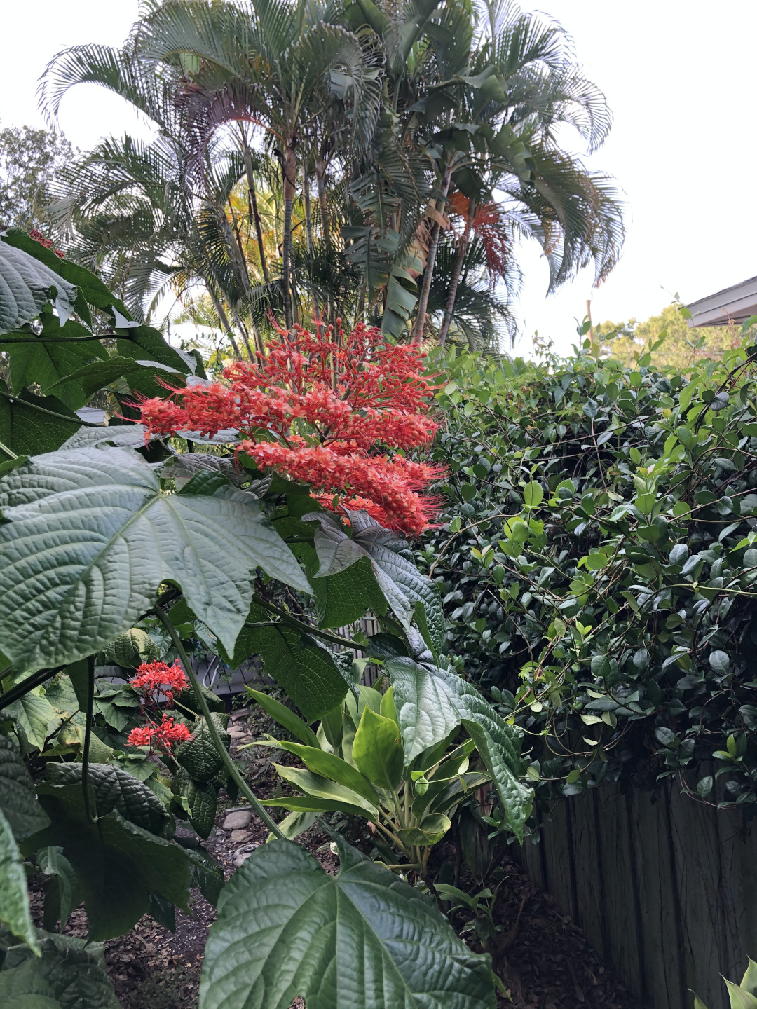 Chinese pagoda clerodendrum
