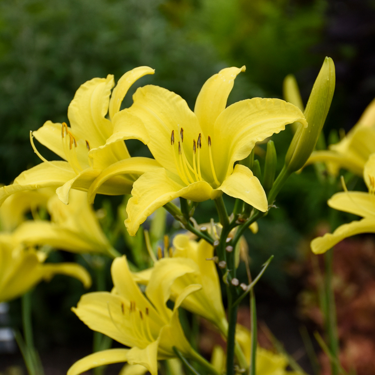'Hyperion' daylily (credit: Walters Gardens, Inc.)