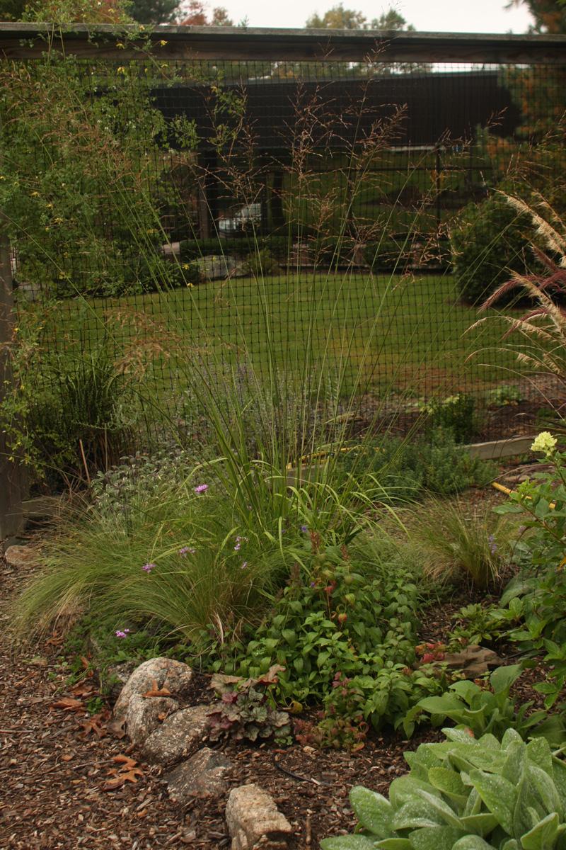 'Skyracer' purple moor grass
