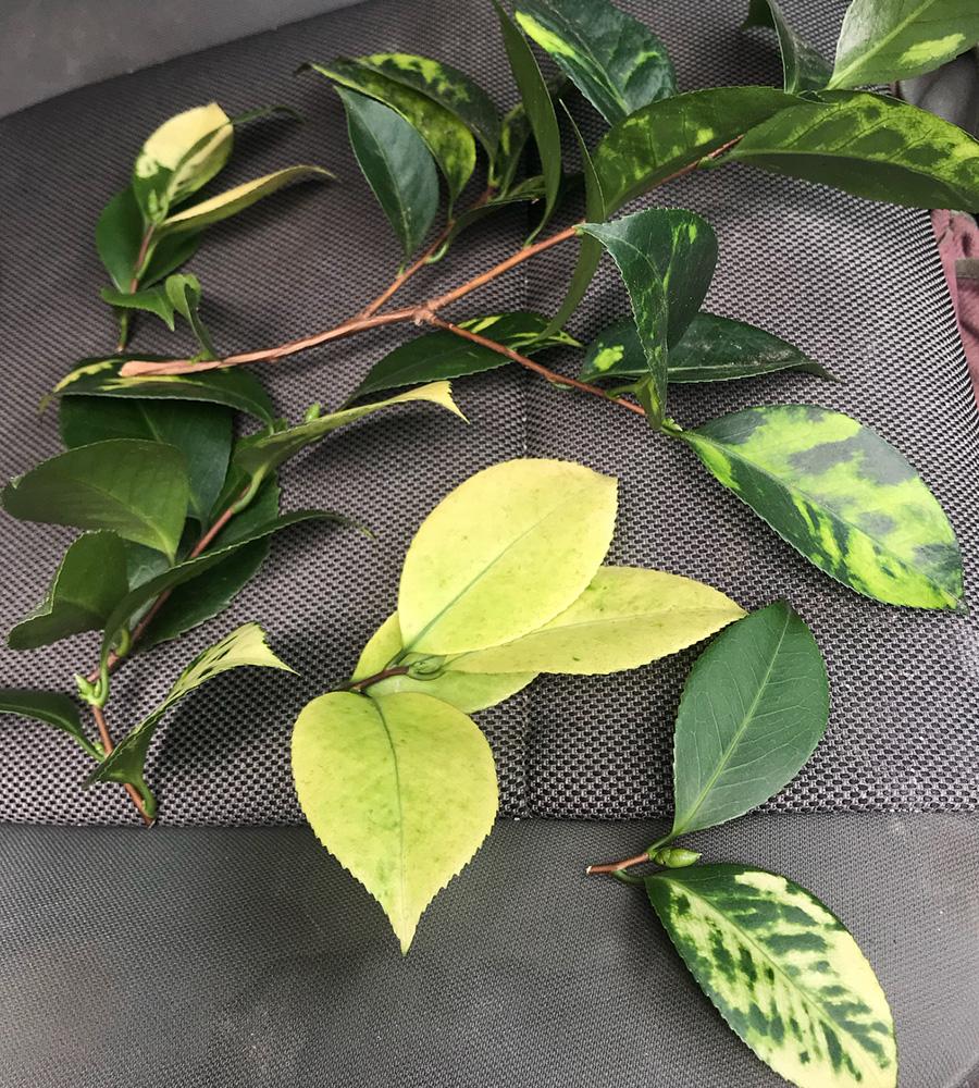 camellia virus