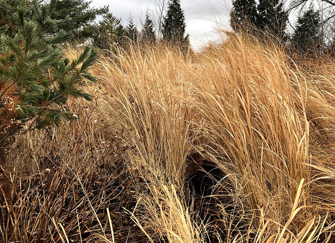 Northwind switchgrass in winter