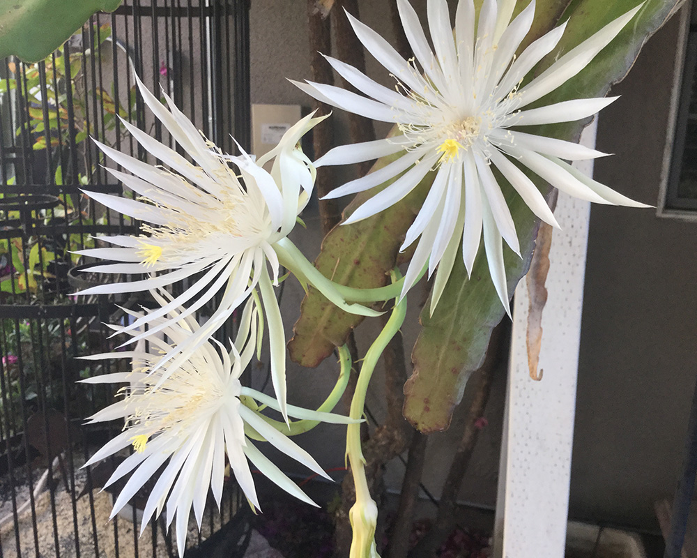 Hookers orchid cactus