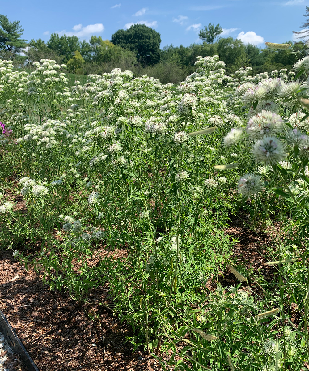 Appalachian mountain mint