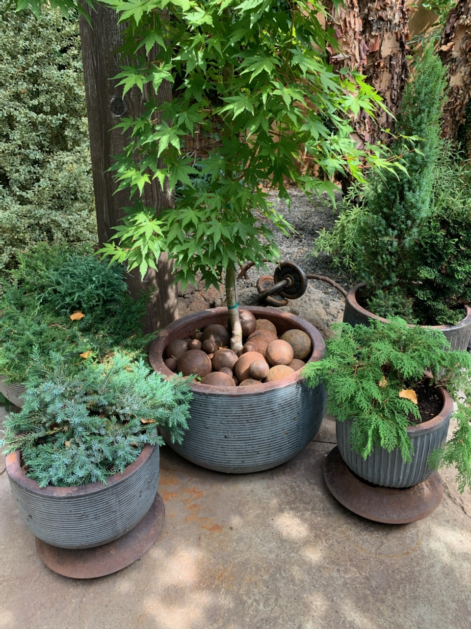 Japanese maple in a pot