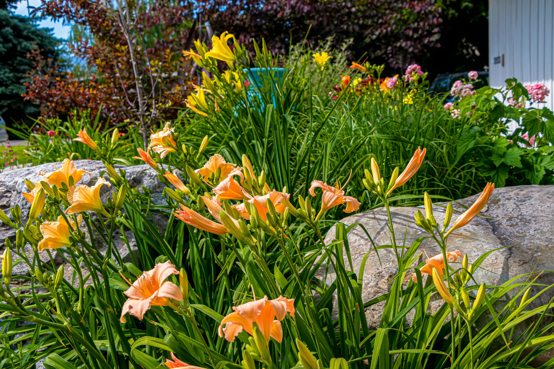 Fairy Tale Pink daylily