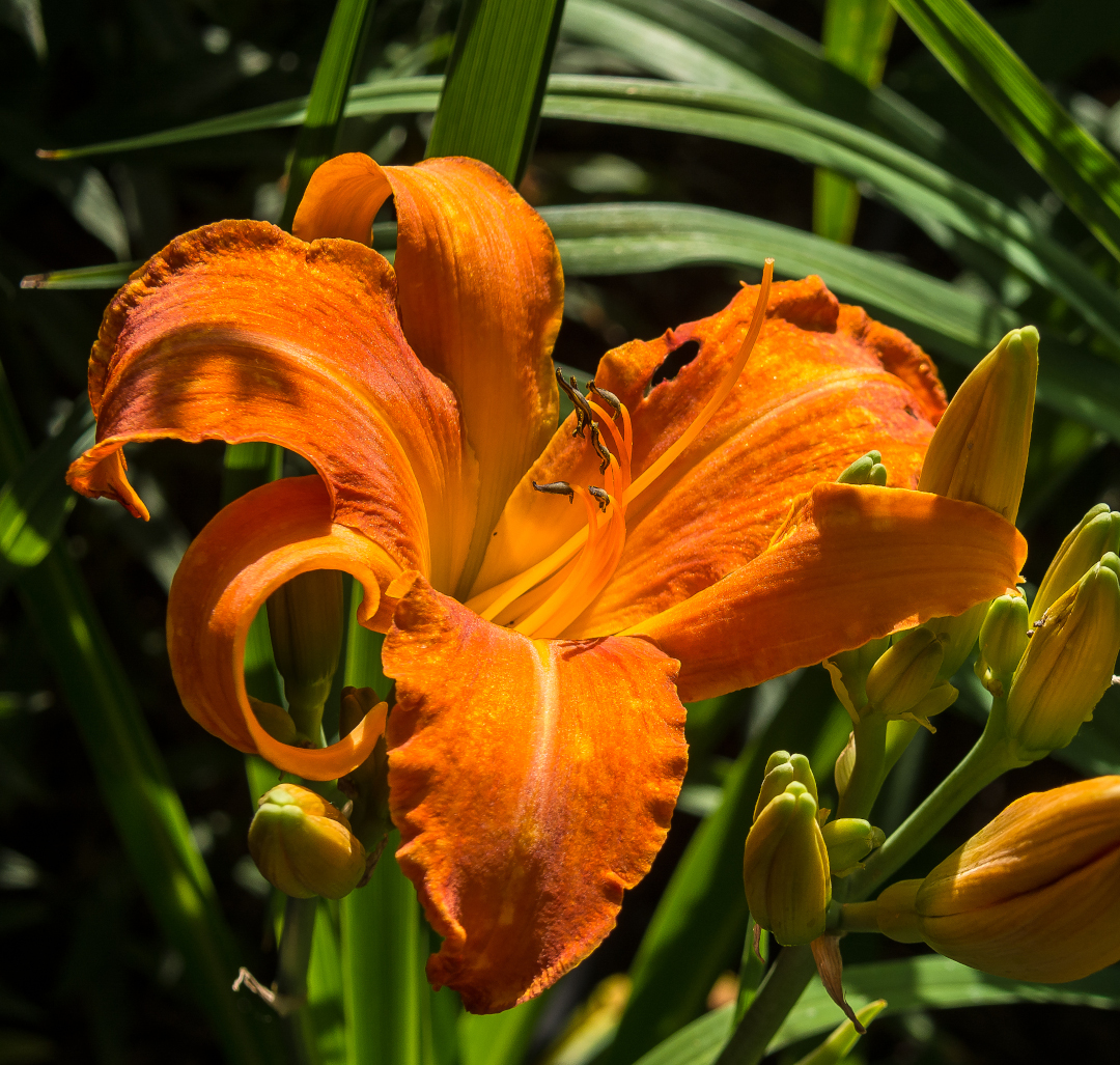 Primal Scream daylily