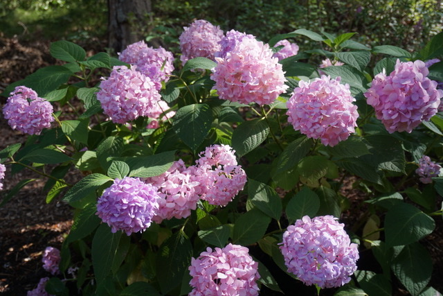 Big leaved hydrangea