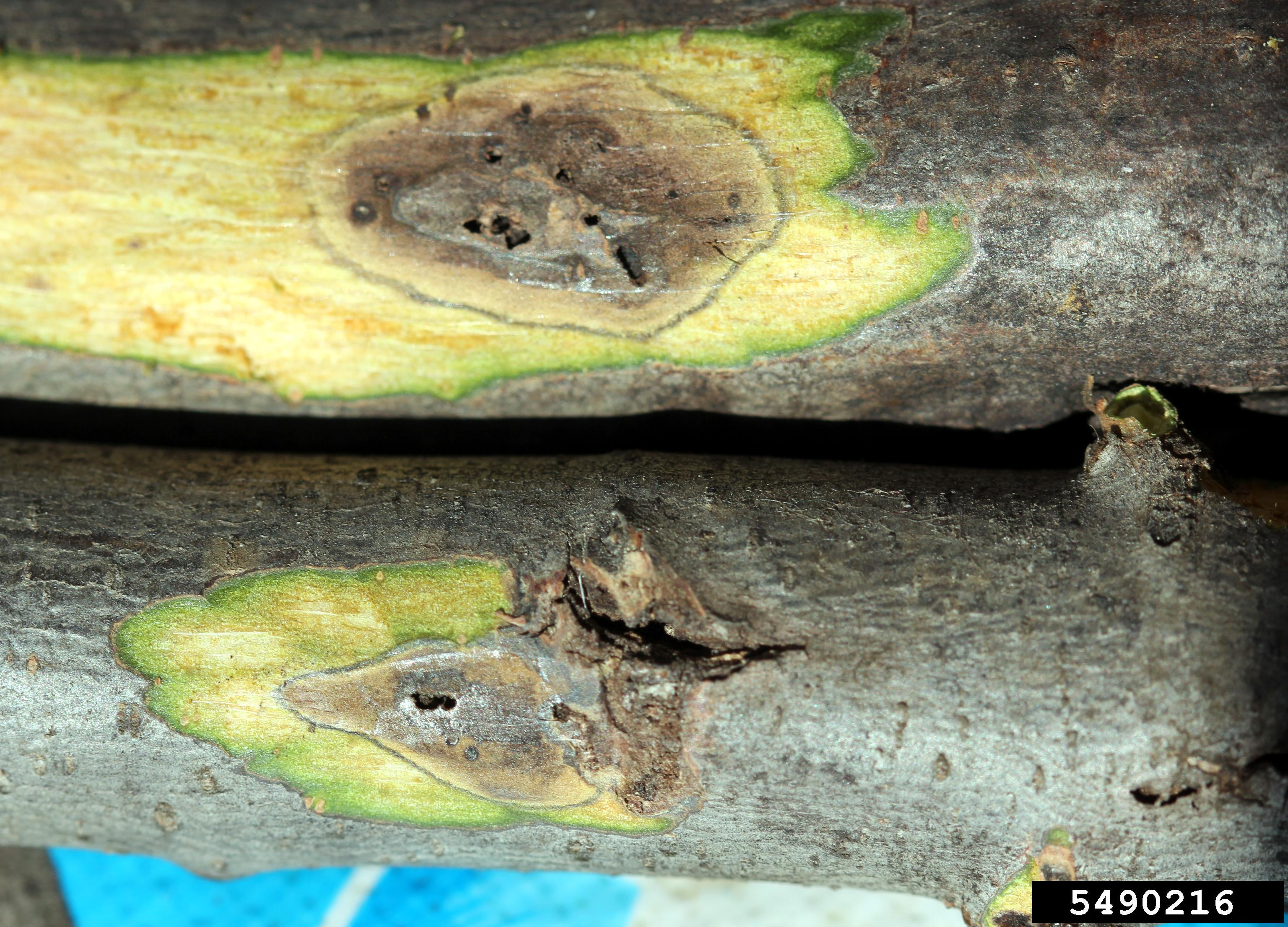 Scratch away some bark and look for dark cankers and exit holes like these ones. Photo: Whitney Cranshaw, Colorado State University, Bugwood.org