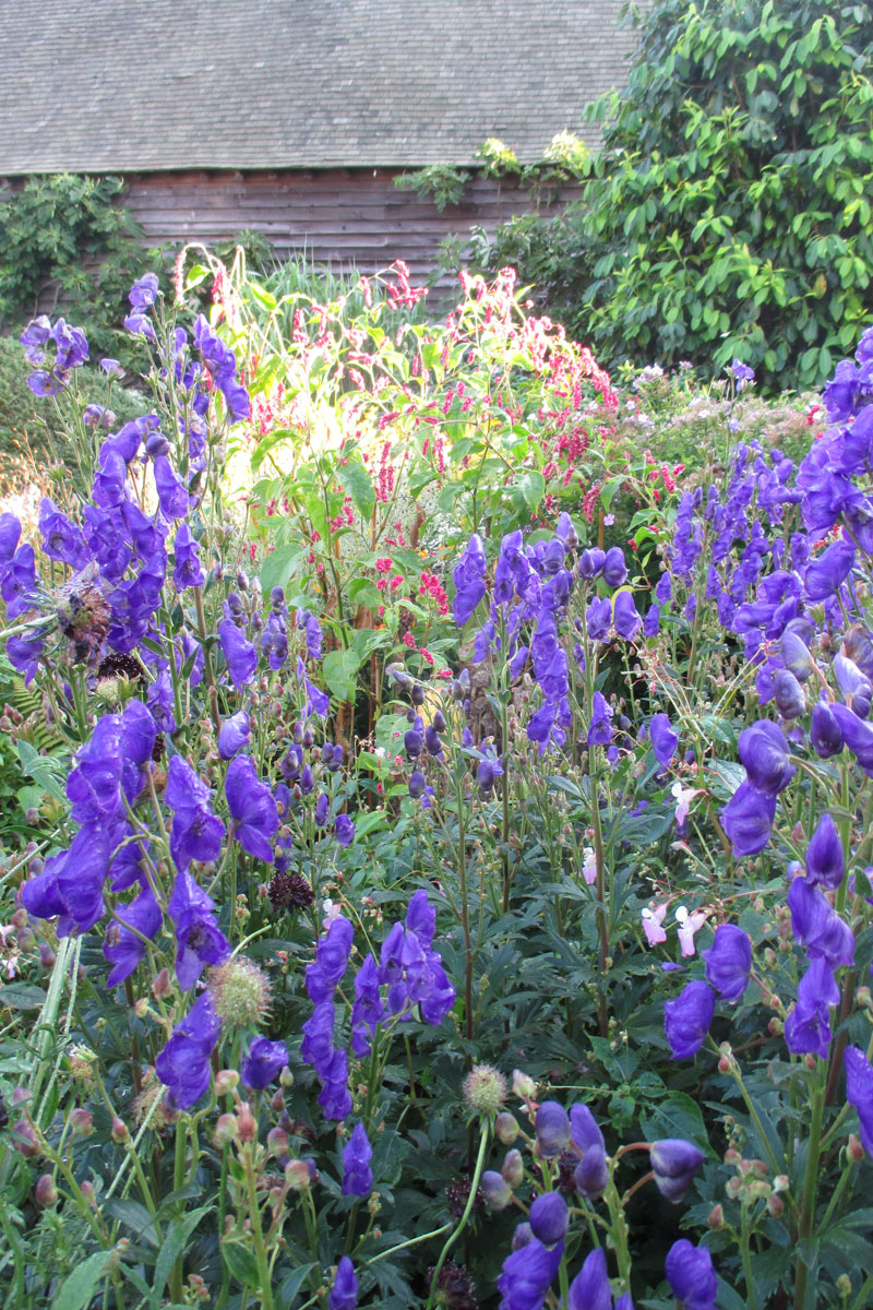 'Arendsii' azure monkshood is a perfect candidate for meadowscaping. Photo: Mark Dwyer